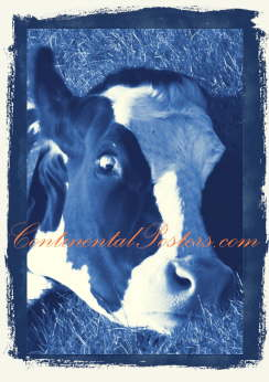 Cow silly blue 1