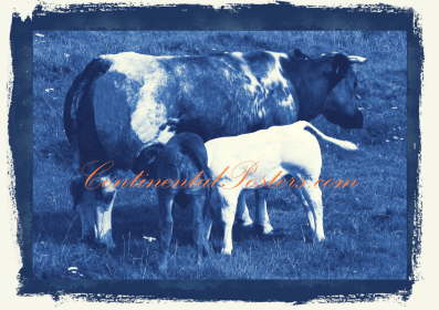 Cow with calves blue 2