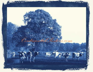 cows in blue 1