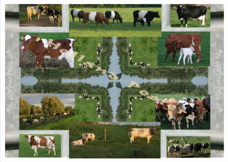 Dutch Cows special art poster