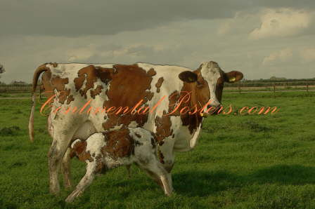 Cow with Calf 2 special art poster